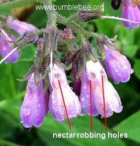 nectar robbing holes made by bumblebees in comfrey flowers
