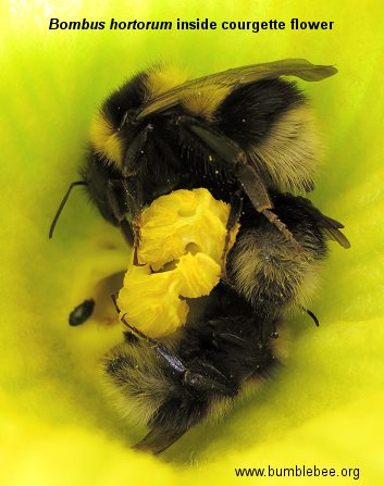 Bombus hortorum inside a courgette flower to stay warm