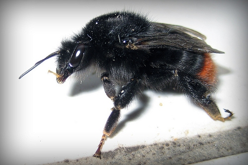Bombus lapidarius queen, red tailed bumblebee queen