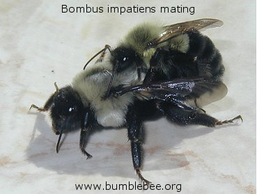 mating bumblebees