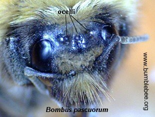 Bombus pascuorum head showing ocelli