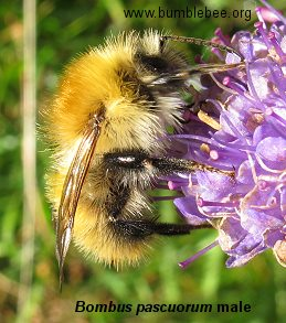 Bombus pascuorum, borwn-banded carder bee male