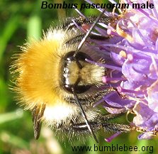 Bombus pascuorum, borwn-banded carder bee male, close up of head