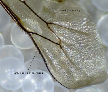 bumblebee wing showing the hooks linking the two wings together