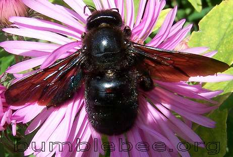 Xylocopa Violacea, carpenter bee adult on flower, taken in Northern France