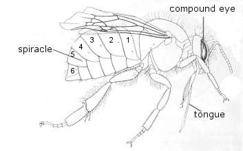 side view of bumblebee body showing the body parts