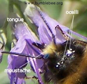 Bombus lapidarius male bumblebee showing ocelli, tongue and moustache