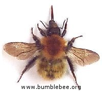 Bombus pascuorum, the Brown-banded carder bee queen