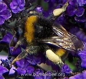 a worker bumblebee with full pollen baskets