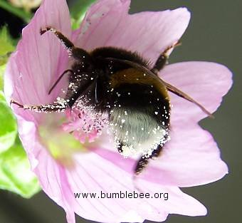Bombus terrestris/lucorum worker in a flower and covered in pollen