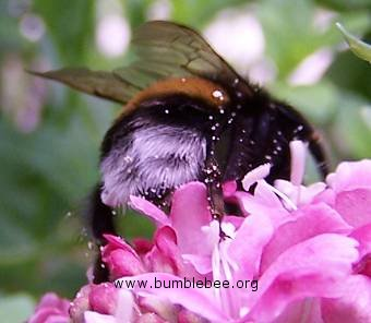Bombus terrestris/lucorum worker and pollen