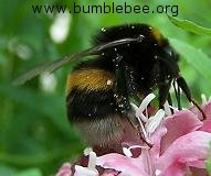 bumblebee worker foraging on scabious planted in a nort-facing Paris window box