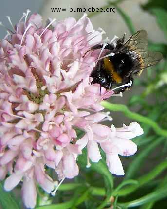 Bombus terrestris on Scabious