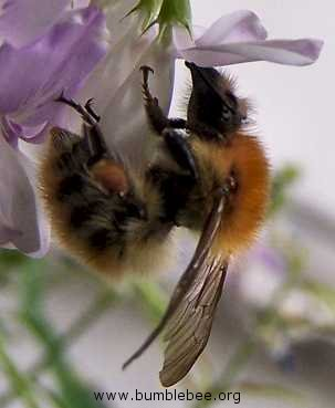 Bombus humilis worker foraging from flowers planted in a window box