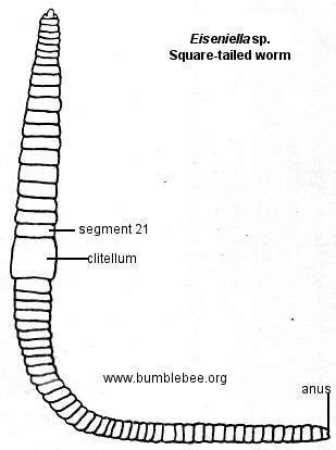 Eisenella, squate-tailed worm
