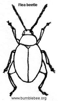 Flea beetle adult