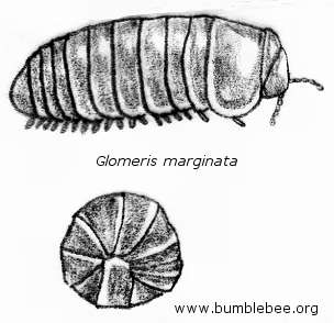 Glomeris marginata, pill millipede