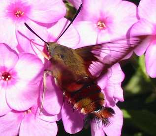 Snowberry clearwing moth, Hemaris officinalis.  Family: Sphingidae