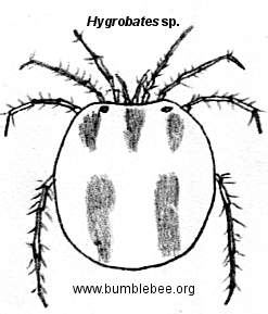 Hygrobates sp., water mite