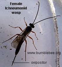 Female Ichneumonid wasp