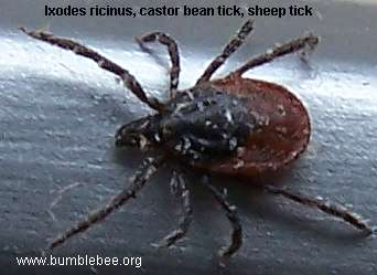 Ixodes ricinus, castor bean tick, sheep tick