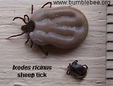 Ixodes ricinus, sheep tick, castor bean tick, a female partly filled with my dog's blood, and an unexpanded male/female