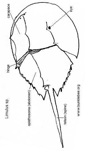 Limulus (horseshoe crab) ventral view