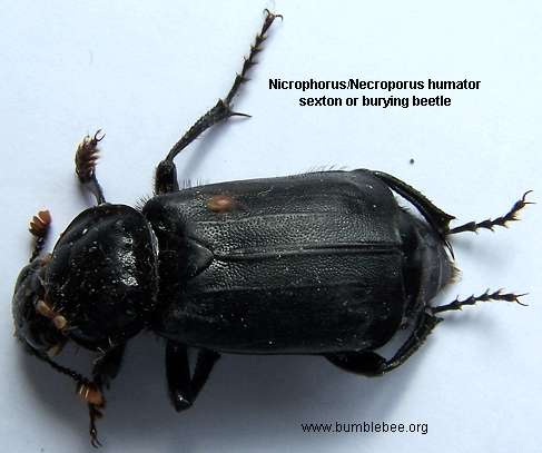 Nicrophous humator adult, sexton beetle, burying beetle, carrion beetle