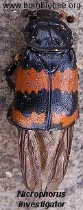 Nicrophorus investigator, adult with partly clodes wings