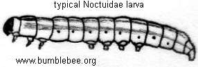 Noctuidae larva, typical body shape