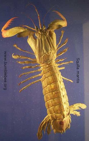 Squilla mantis, spearing mantis shrimp