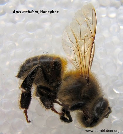 Honey bee worker, Apis mellifera worker